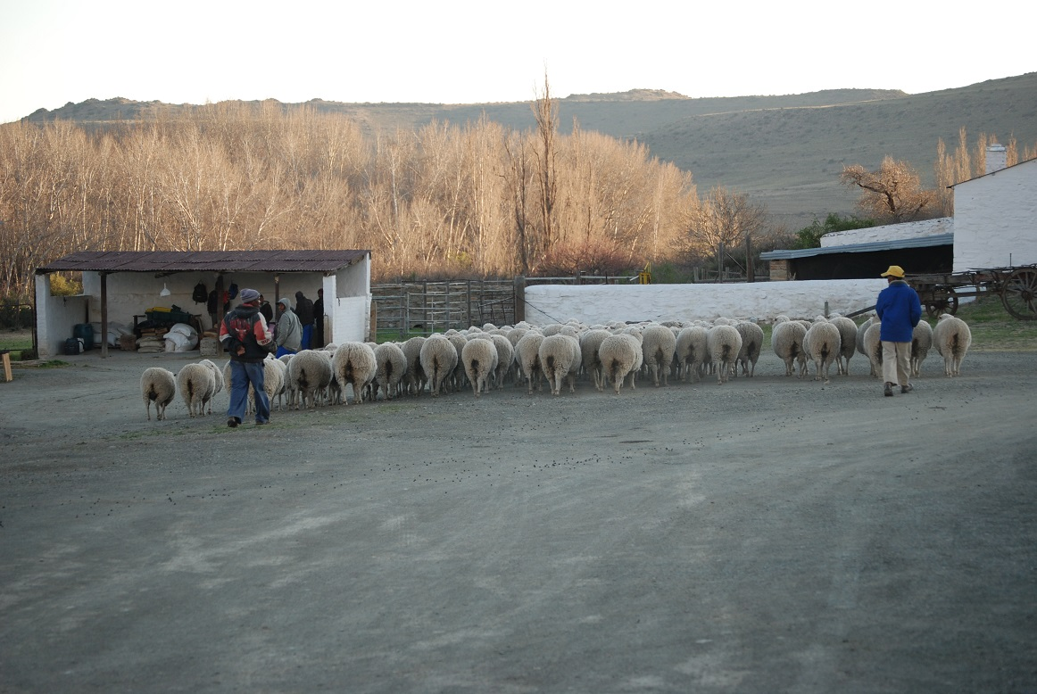 Karoo Ganora Marino sheep Farm BB