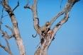 Kruger Park Safari - Leopard & Kill